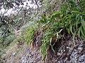Arthropodium cirratum (G.Forst.) R.Br. (AM AK300511).jpg