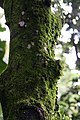 Artocarpus heterophyllus 23zz.jpg