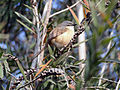 Ashy prinia - a small bird.JPG