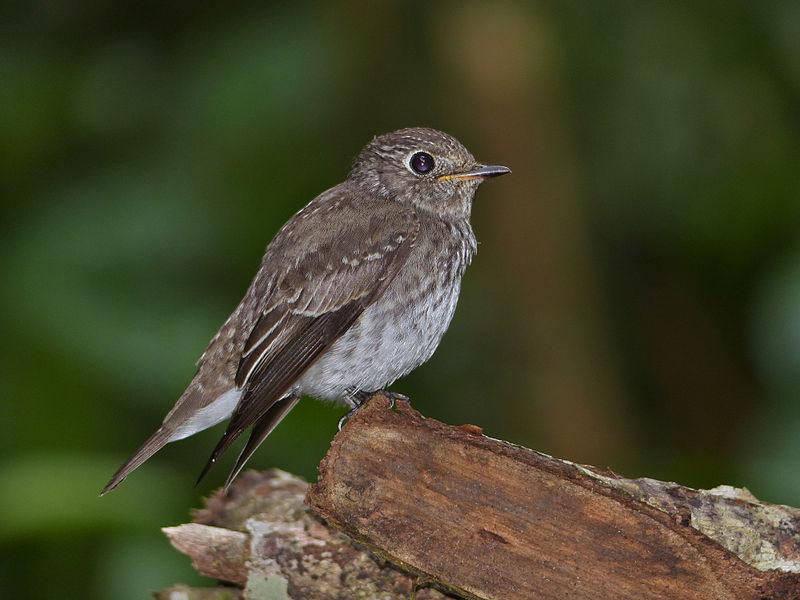 File:Asian Brown Flycatcher (Muscicapa dauurica) (15489798050).jpg