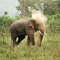 Asian Elephant at Corbett National Park 12.jpg