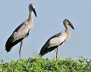Asian openbill - Juveniles at nest. The gap between the mandibles develops with age.