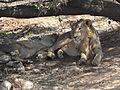Asiatic lions6.jpg