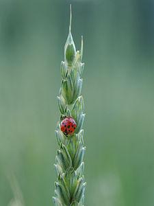 Asiatische Marienkäfer, Harmonia axyridis auf einer Weizenähre 2.JPG