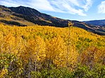 Aspens during fall in the mountains of the Richfield Ranger District.