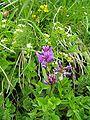 Astragalus australis.jpg