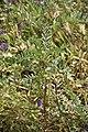 Astragalus boeticus-3270.jpg