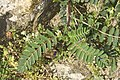 Astragalus boeticus-3279.jpg