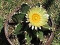 Astrophytum ornatum 20.jpg