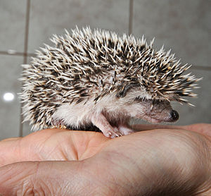 Four-toed hedgehog - Young four-toed hedgehog