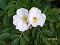 Atlas roslin pl Róża pomarszczona 49 7793.jpg