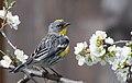 Audubon's Warbler Setophaga auduboni.jpg
