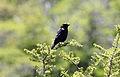 Austral Blackbird (Curaeus curaeus) (15935819986).jpg