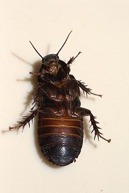 Australian Wood Cockroach 03