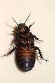 Australian Wood Cockroach 03.jpg