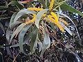 Australianblackwood-acacia melanoxylon flower.JPG