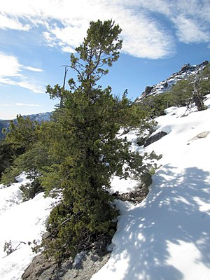 Cypress - Image: Austrocedrus chilensis por pabloendemico 001