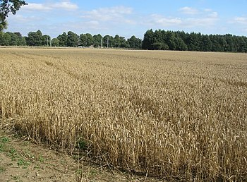 English: Autumn cereals