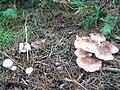 Autumnal Fungi near Burbage Brook - geograph.org.uk - 2064470.jpg