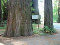Avenue Of The Giants (324701513).jpg