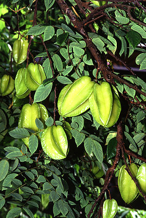Carambola - Unripe carambolas on the tree