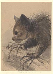 An Aye-aye foraging, c.1863, Joseph Wolf. Held at the Natural History Museum, London