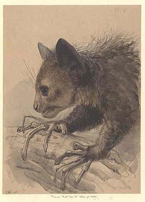 Aye-aye - An aye-aye foraging, c.1863, Joseph Wolf