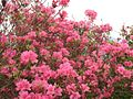 Azaleas on Mount Guifengshan in Macheng City, Huanggang, Hubei 8.jpeg