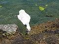 Baby swan @ Lake Annecy @ Port de Saint-Jorioz (50487114703).jpg