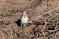 Baird's Sparrow Curly Horse Ranch Rd Sonoita AZ 2018-01-26 10-04-32 (39226186734).jpg