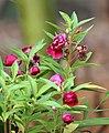 Balsam flowers 11.jpg