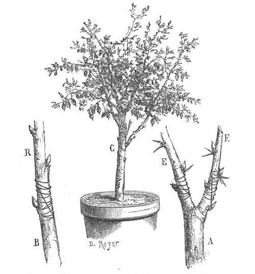 L art de greffer v g taux multiplier par la greffe arbres arbrisseaux arbustes wikisource - A quel moment tailler les rosiers ...