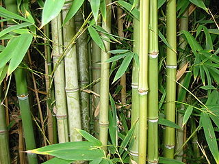 file bamboo wikimedia commons. Black Bedroom Furniture Sets. Home Design Ideas