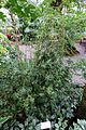 Bambusa multiplex (Bambusa glaucescens) - Botanischer Garten - Heidelberg, Germany - DSC01139.jpg