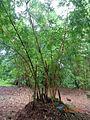 Bambusa vulgaris verstrata.JPG