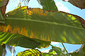 Banana leaves damaged by Raoiella indica - red palm mite.jpg