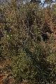 Banksia acanthopoda gnangarra 02.JPG