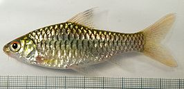 Barbus callipterus.jpg