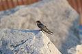 Barn Swallow (Hirundo rustica) (14542377137).jpg