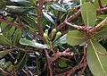 Barringtonia asiatica flower buds Beqa Fiji.jpg