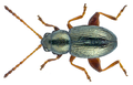 Batophila aerata (Marsham, 1802) (5761829925).png