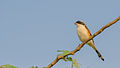 Bay-backed Shrike at Hessarghatta.jpg