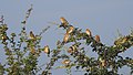 Baya Weaver Ploceus philippinus by Dr. Raju Kasambe DSCN0233 (15).jpg