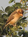 Baya Weaver Ploceus philippinus by Dr. Raju Kasambe DSCN0233 (2).jpg