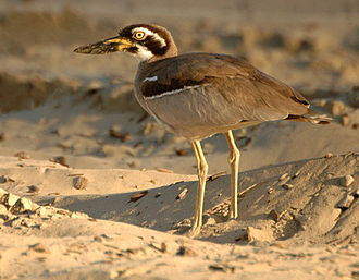 Beach stone-curlew - Image: Beach Thick knee Inskip Pt 2