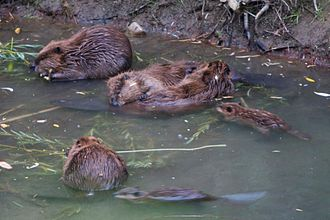 Los Gatos Creek (Santa Clara County, California) - California golden beaver family on upper Los Gatos Creek