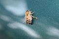 Bee with pollen.jpg