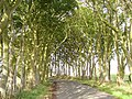 Beech lined road, Sheafyknowe - geograph.org.uk - 230114.jpg