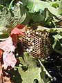 Beehive on a tree vine.jpg