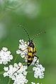 Beetle (36006689091).jpg